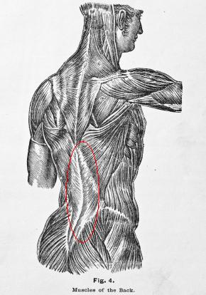 muscular structure of man